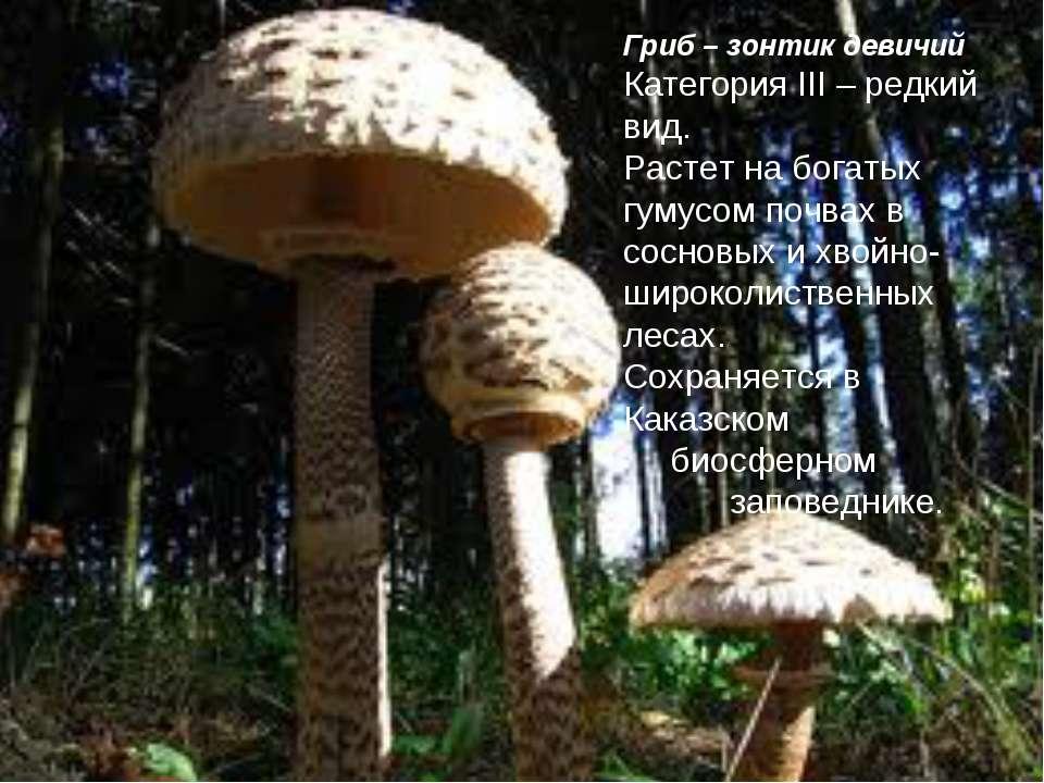 Гриб – зонтик девичий Категория III – редкий вид. Растет на богатых гумусом п...