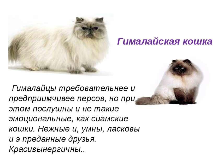 Гималайцы требовательнее и предприимчивее персов, но при этом послушны и не т...