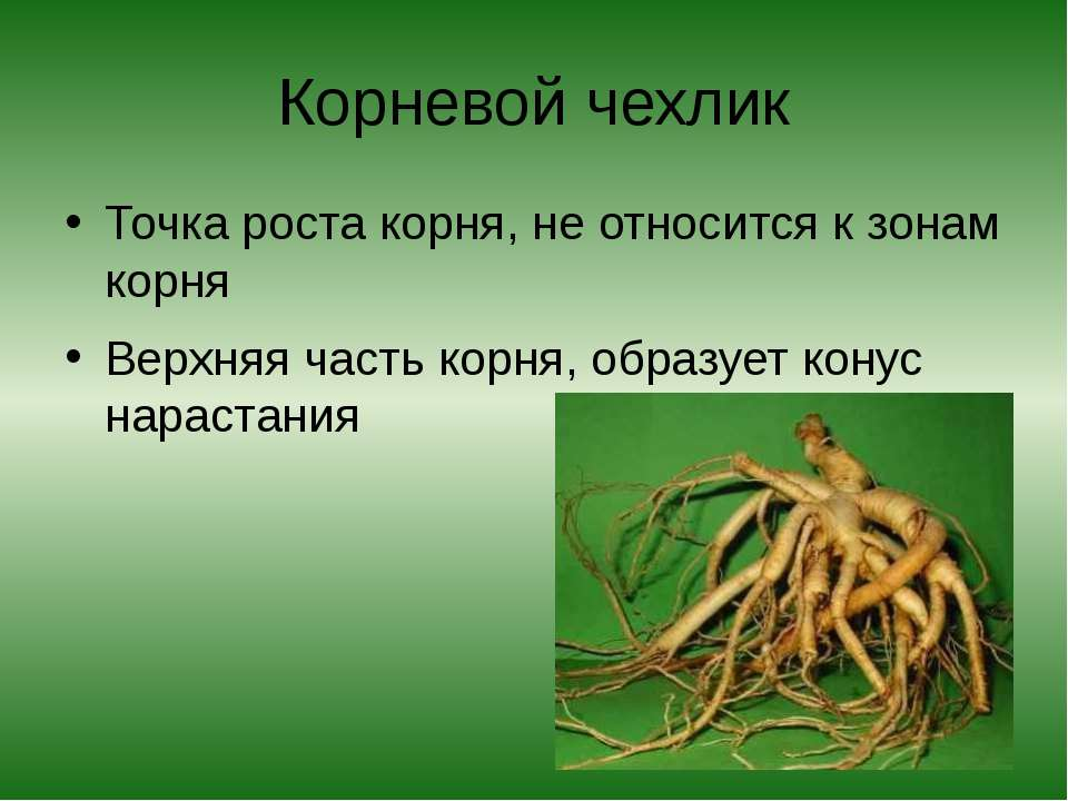 Корневой чехлик Точка роста корня, не относится к зонам корня Верхняя часть к...