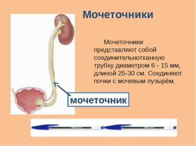 Мочеточники Мочеточники представляют собой соединительнотканную трубку диамет...