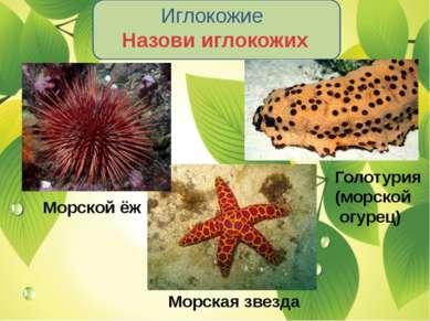 Иглокожие Назови иглокожих Морской ёж Морская звезда Голотурия (морской огурец)