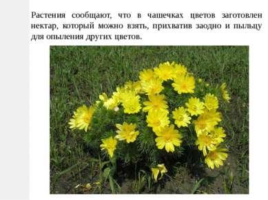 Растения сообщают, что в чашечках цветов заготовлен нектар, который можно взя...