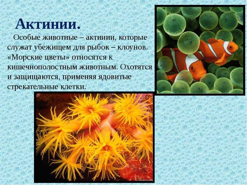 Актинии. Особые животные – актинии, которые служат убежищем для рыбок – клоун...