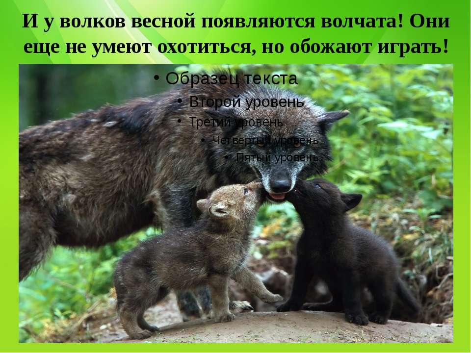 И у волков весной появляются волчата! Они еще не умеют охотиться, но обожают ...