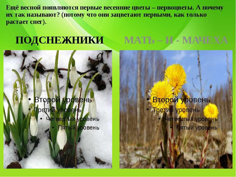 Ещё весной появляются первые весенние цветы – первоцветы. А почему их так наз...