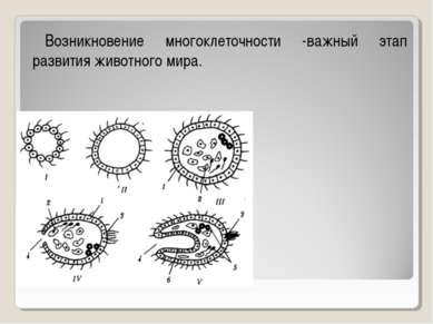 Возникновение многоклеточности -важный этап развития животного мира.