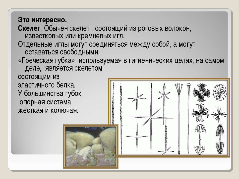 Это интересно. Скелет. Обычен скелет , состоящий из роговых волокон, известко...