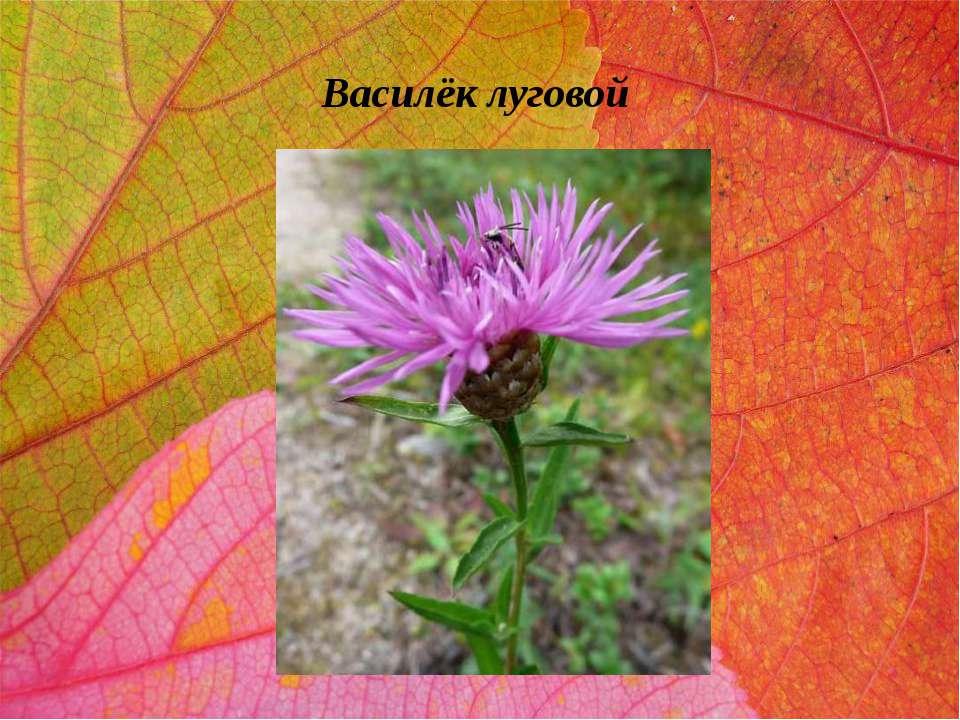 Василёк луговой
