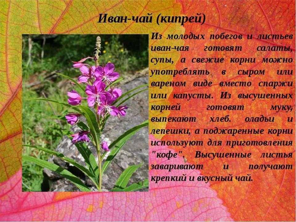 Иван-чай (кипрей) Из молодых побегов и листьев иван-чая готовят салаты, супы,...