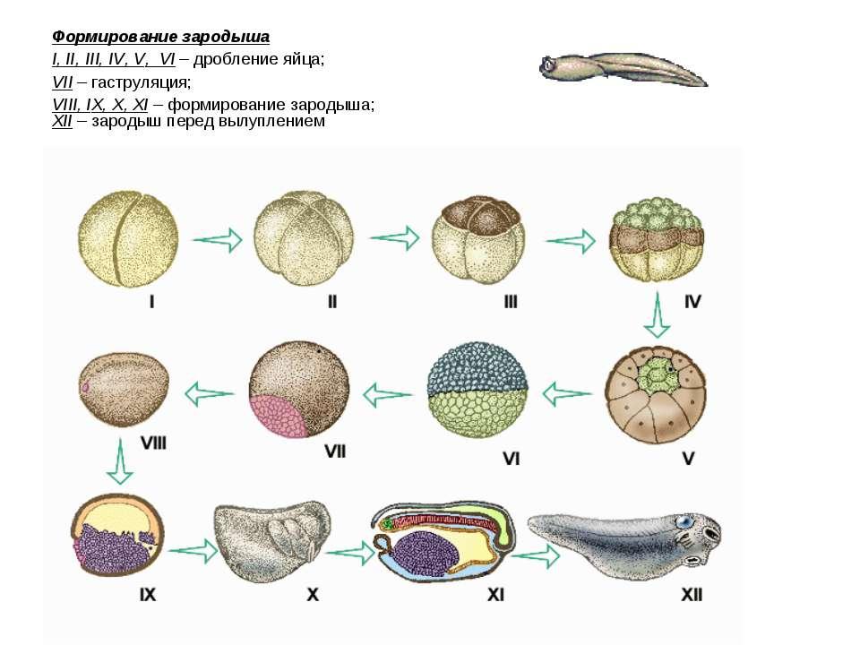 Формирование зародыша I, II, III, IV, V, VI – дробление яйца; VII – гаструляц...