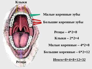 Большие коренные зубы Малые коренные зубы Клыки Резцы Резцы – 4*2=8 Клыки – 2...