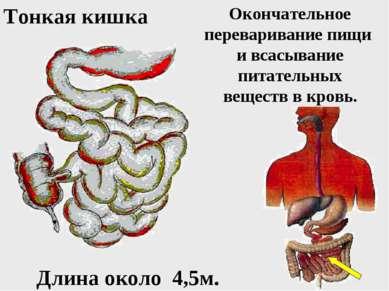 Окончательное переваривание пищи и всасывание питательных веществ в кровь. То...