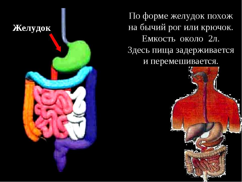Желудок По форме желудок похож на бычий рог или крючок. Емкость около 2л. Зде...