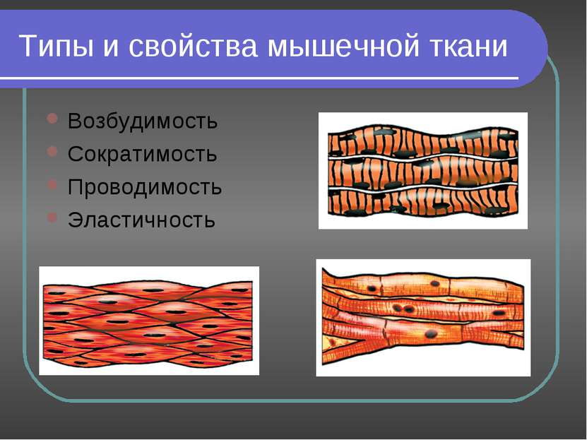 Типы и свойства мышечной ткани Возбудимость Сократимость Проводимость Эластич...