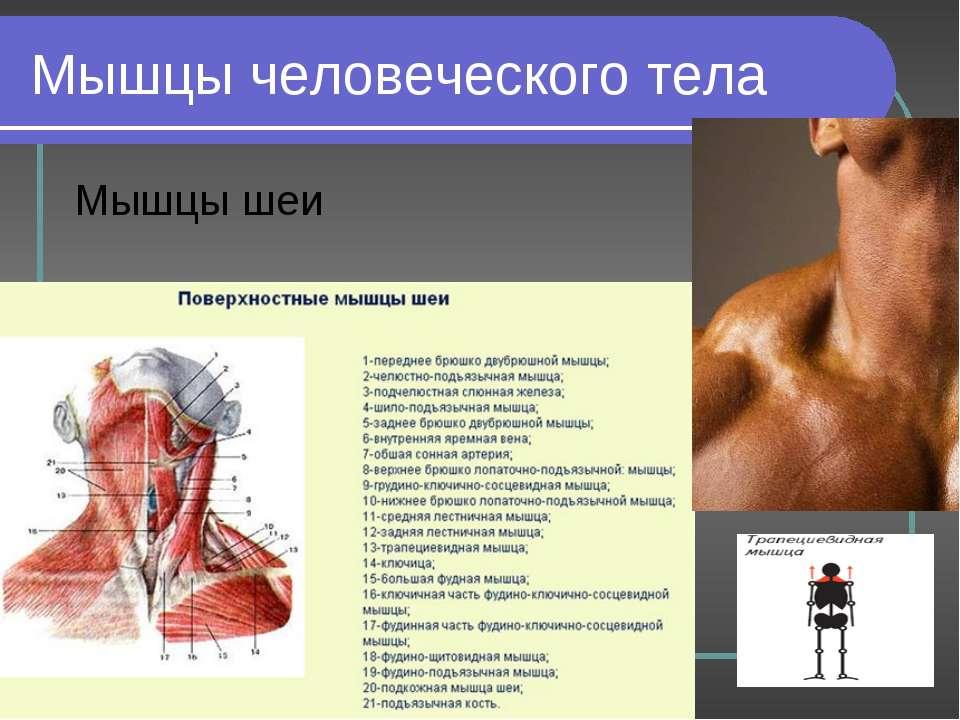 Мышцы человеческого тела Мышцы шеи