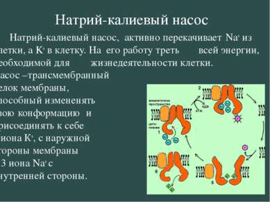 Натрий-калиевый насос Натрий-калиевый насос, активно перекачивает Na+ из клет...