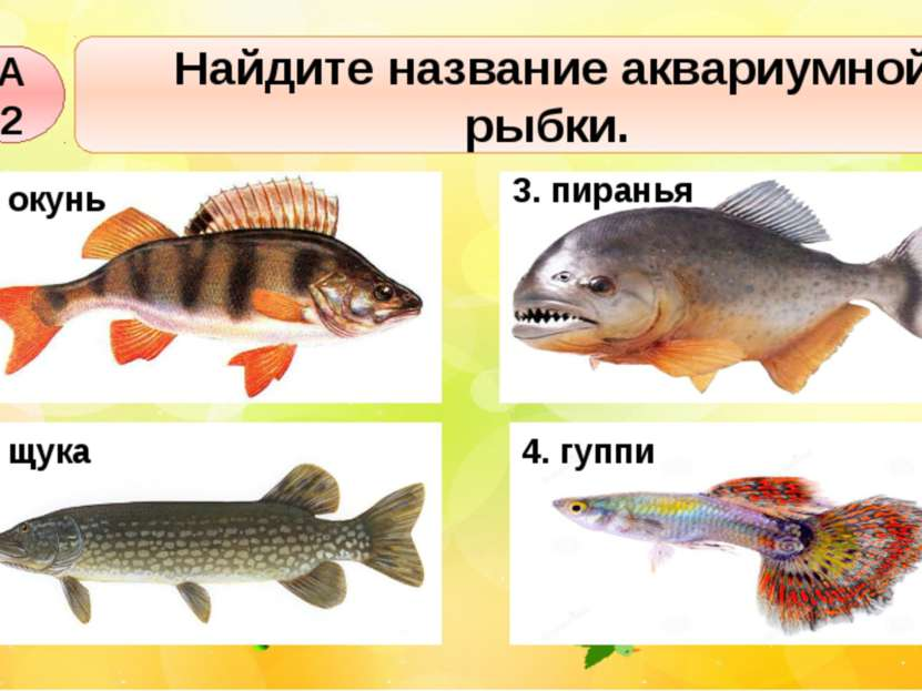 А2 Найдите название аквариумной рыбки. 1. окунь 2. щука 3. пиранья 4. гуппи