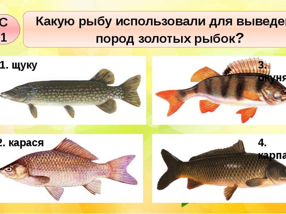 Какую рыбу использовали для выведения пород золотых рыбок? С1 1. щуку 3. окун...