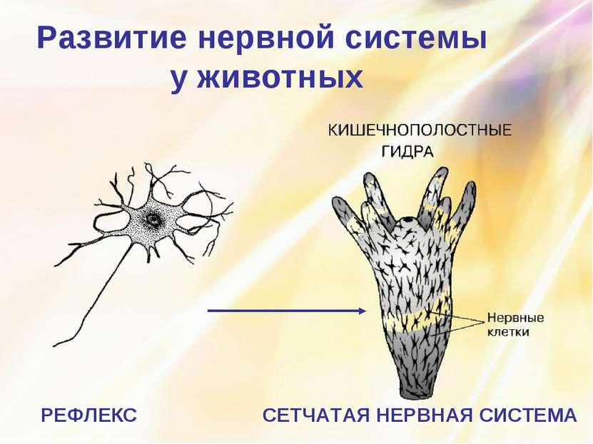 Развитие нервной системы у животных СЕТЧАТАЯ НЕРВНАЯ СИСТЕМА РЕФЛЕКС