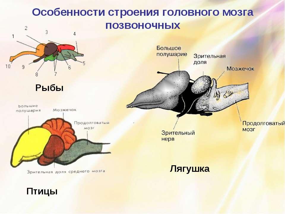 Особенности строения головного мозга позвоночных Рыбы Птицы Лягушка