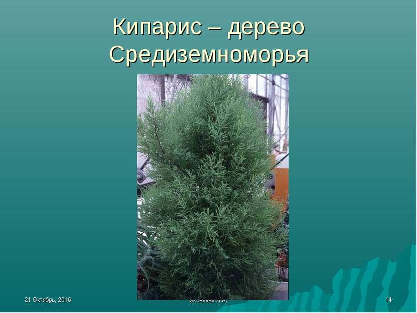 * Яковлева Л.А. * Кипарис – дерево Средиземноморья Яковлева Л.А.