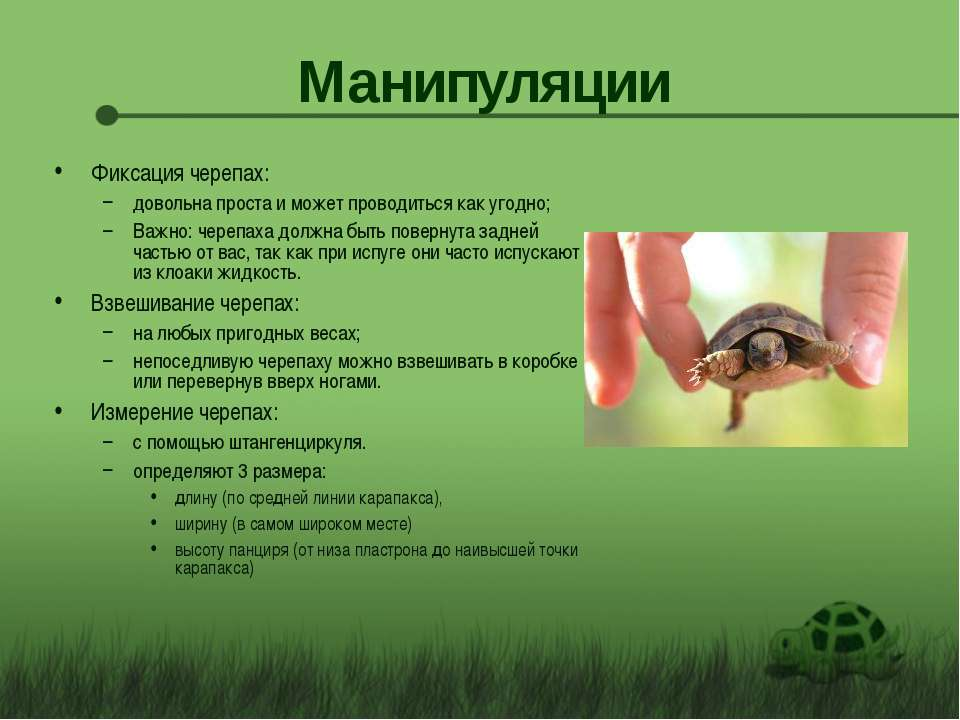 Манипуляции Фиксация черепах: довольна проста и может проводиться как угодно;...