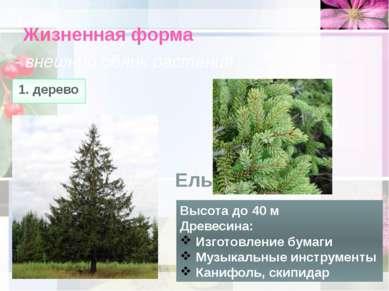 Жизненная форма - внешний облик растения 1. дерево Высота до 40 м Древесина: ...