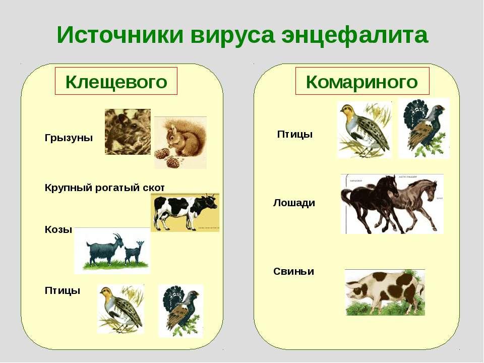 Источники вируса энцефалита Клещевого Комариного Грызуны Крупный рогатый скот...