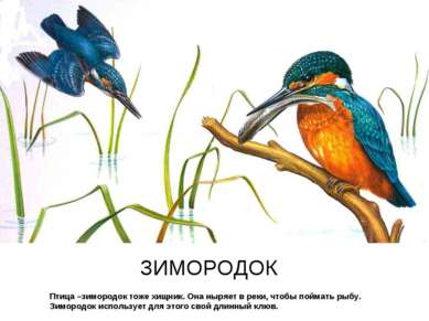 Птица –зимородок тоже хищник. Она ныряет в реки, чтобы поймать рыбу. Зимородо...