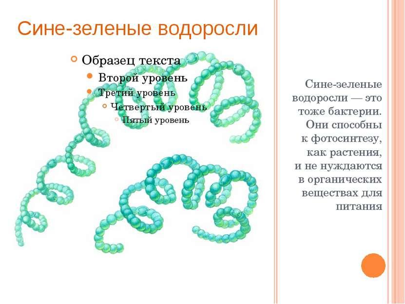 Сине-зеленые водоросли— это тоже бактерии. Они способны кфотосинтезу, как р...
