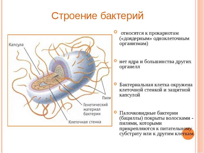 относятся к прокариотам («доядерным» одноклеточным организмам) нет ядра и бол...