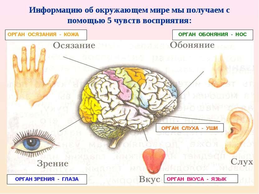 Информацию об окружающем мире мы получаем с помощью 5 чувств восприятия: ОРГА...