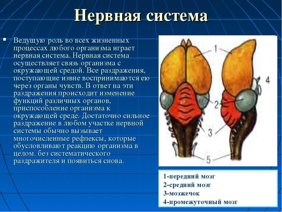 Нервная система Ведущую роль во всех жизненных процессах любого организма игр...