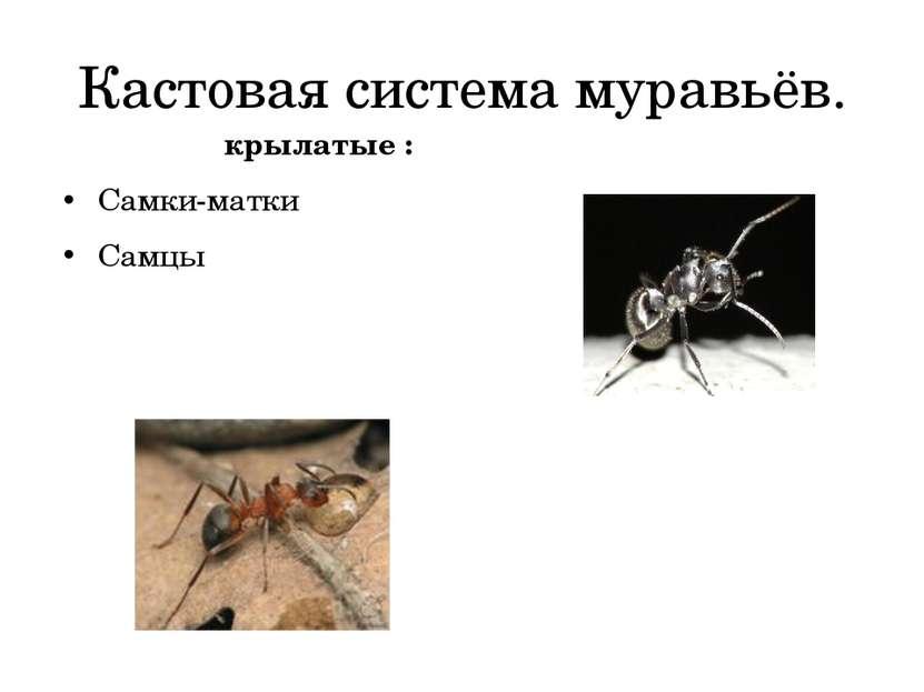 Кастовая система муравьёв. крылатые : Самки-матки Самцы