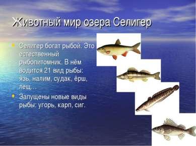 Животный мир озера Селигер Селигер богат рыбой. Это естественный рыбопитомник...