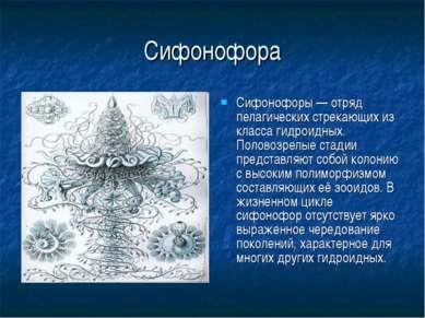 Сифонофора Сифонофоры — отряд пелагических стрекающих из класса гидроидных. П...