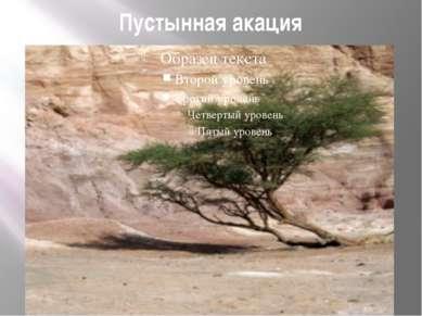 Пустынная акация