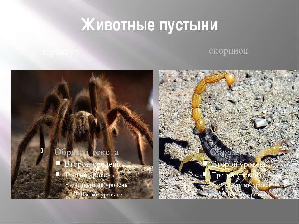 Животные пустыни тарантул скорпион