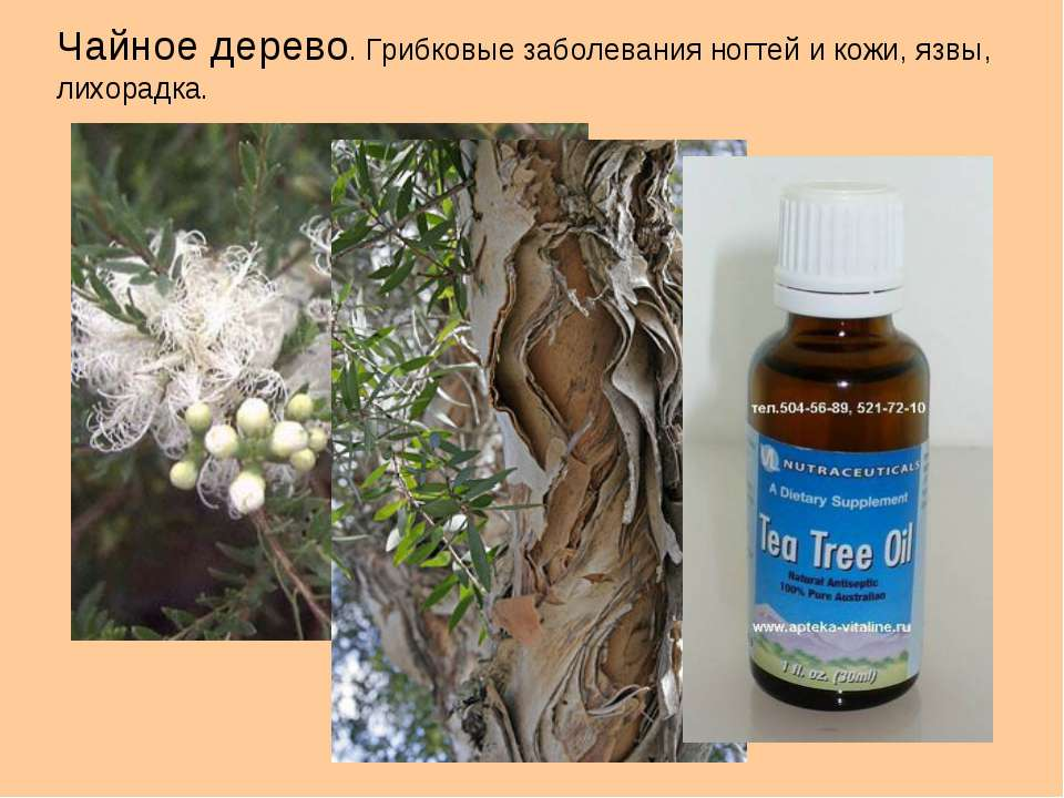 Чайное дерево. Грибковые заболевания ногтей и кожи, язвы, лихорадка.
