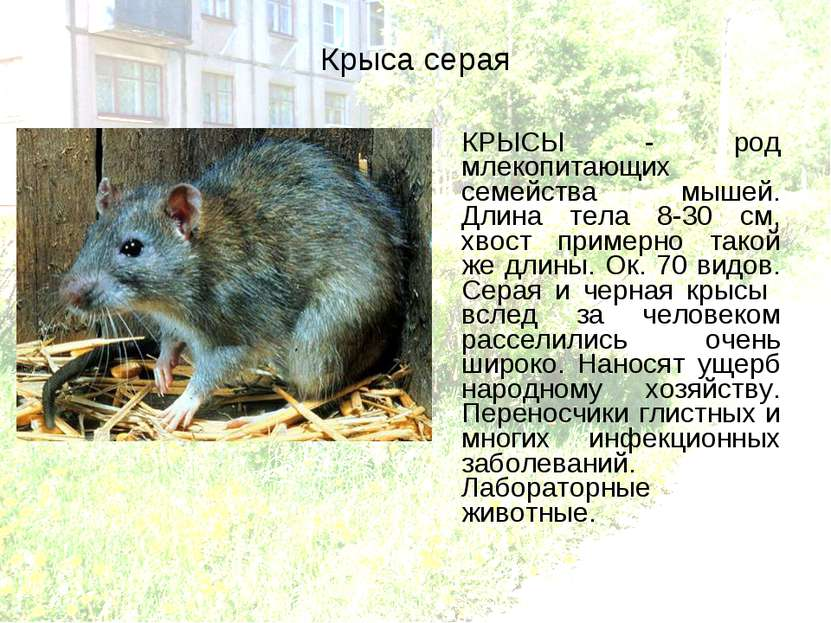 Крыса серая КРЫСЫ - род млекопитающих семейства мышей. Длина тела 8-30 см, хв...