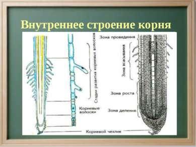 Внутреннее строение корня