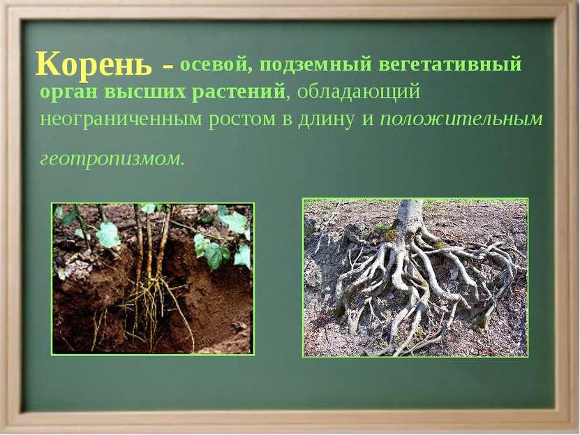 Корень - осевой, подземный вегетативный орган высших растений, обладающий нео...