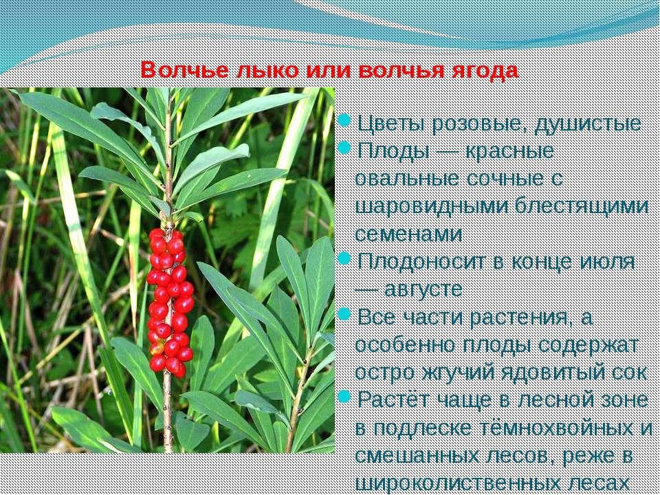 Волчье лыко или волчья ягода Цветы розовые, душистые Плоды — красные овальные...