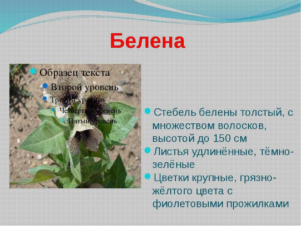 Белена Стебель белены толстый, с множеством волосков, высотой до 150 см Листь...