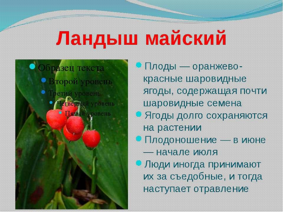 Ландыш майский Плоды — оранжево-красные шаровидные ягоды, содержащая почти ша...