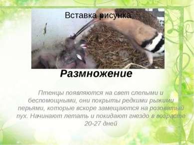 Размножение Птенцы появляются на свет слепыми и беспомощными, они покрыты ред...