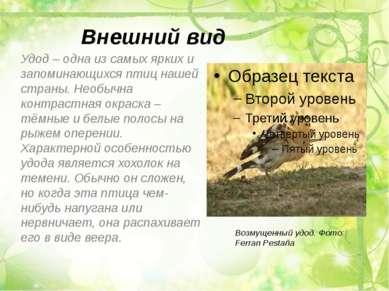 Внешний вид Удод – одна из самых ярких и запоминающихся птиц нашей страны. Не...