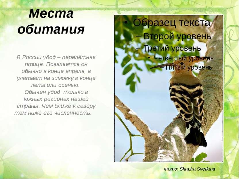 Места обитания В России удод – перелётная птица. Появляется он обычно в конце...