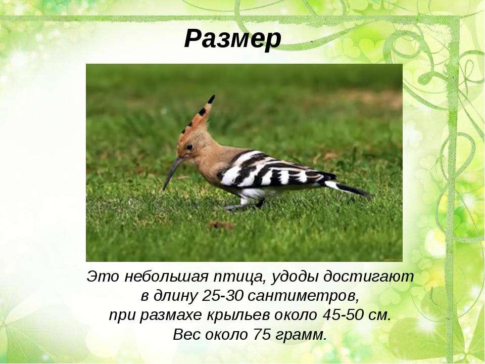 Это небольшая птица, удоды достигают в длину 25-30 сантиметров, при размахе к...