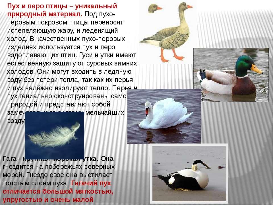 Гага - крупная морская утка. Она гнездится на побережьях северных морей. Гнез...